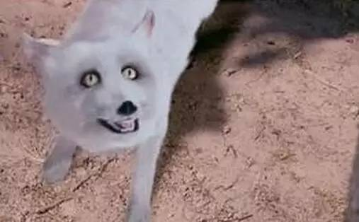 制作人员你们就算没见过真狐狸也该看过动物世界吧,你们在现实世界中