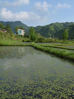 石柱县黄水镇莼菜种植基地