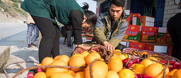 重庆奉节:电子商务助力脐橙外销