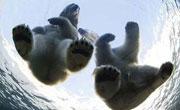 北極熊情侶分手公熊被迫搬家