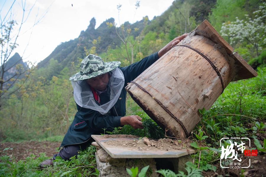 每次巡視,連發明都要小心地傾斜蜂桶,查看蜂巢中的情況,是否有巢蟲,是否有爛子病。巢蟲多了,蜜蜂會棄桶而逃。每當天氣劇烈變化,蜂桶中的工蜂來不及護住幼蜂,便會引發爛子病,幼蟲死亡太多,蜂群就沒法生存。新華網 李相博 攝