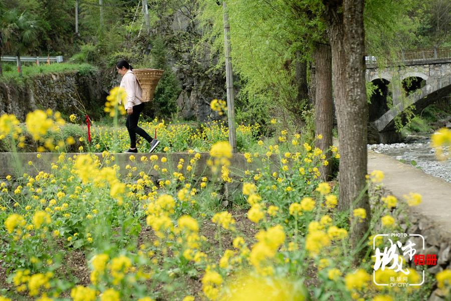 """人間四月芳菲盡,重慶市城口縣東安鎮的花朵卻""""始盛開"""",蜂飛蝶舞,好不熱鬧。繞花起舞的蜜蜂攜滿花粉回歸蜂巢,釀成了城口縣東安鎮特有的""""亢谷蜂蜜""""。新華網 李相博 攝"""