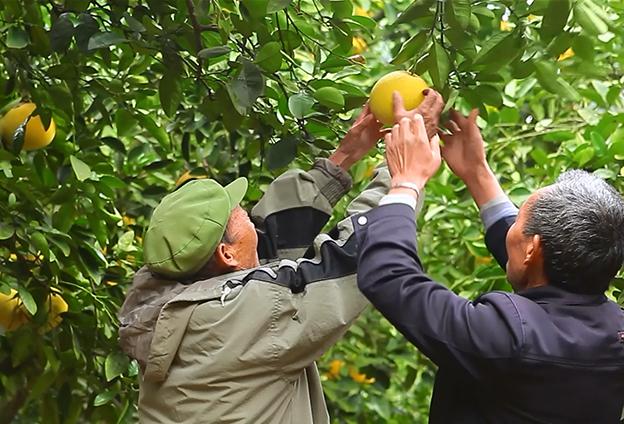 預計2025年 梁平柚種植面積將達30萬畝