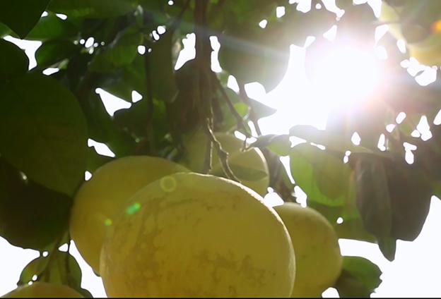 '良藥苦口' 苦麻的梁平柚營養又保健