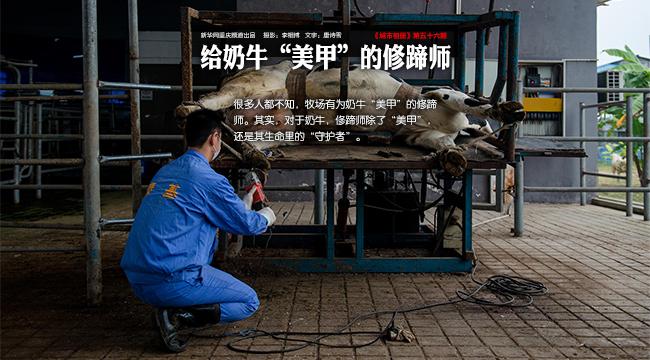 """【城市相冊】給奶牛""""美甲""""的修蹄師"""