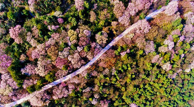 無人機之旅 春到雲龜山 櫻花浪漫開