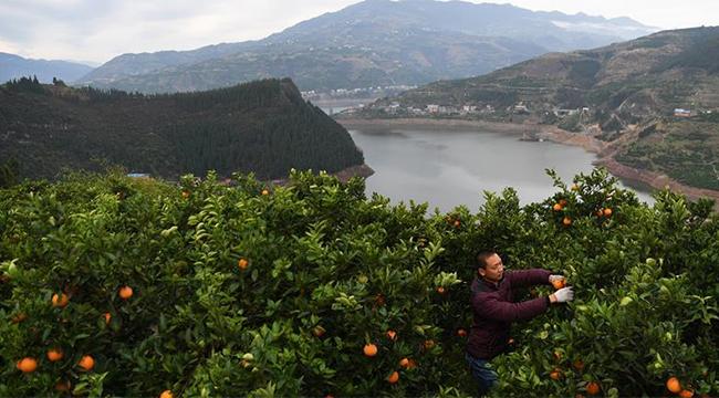 奉節臍橙助力脫貧增收