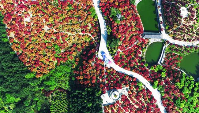 航拍重庆五洲园红枫林 层林尽染如醉