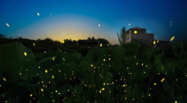 重慶渝北10萬多只螢火蟲翩然起舞宛若繁星