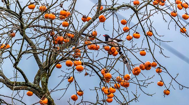 """群鳥""""鬧柿""""繪就冬日趣味圖景"""