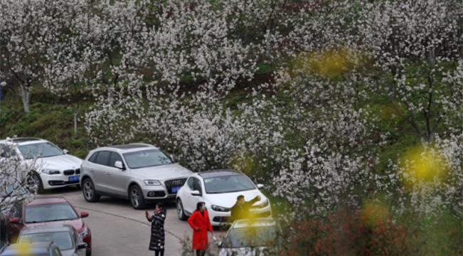 重慶:櫻桃花開引客來