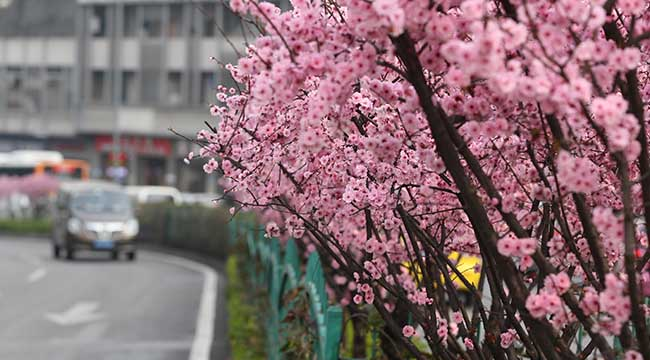 陽春二三月 城市花影各妖嬈