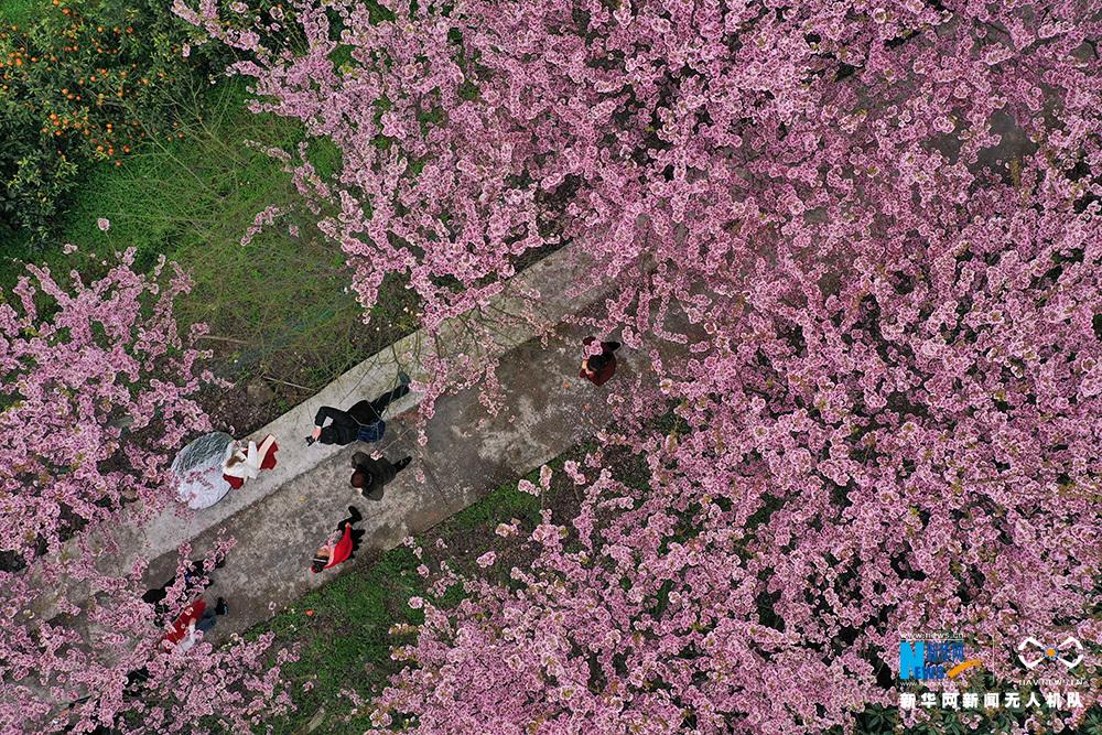 航拍重慶暖春櫻花 浪漫滿樹如雲霞