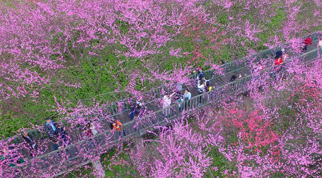 綠水青山暗香涌!重慶超美濱江桃林上線 驚艷了流年