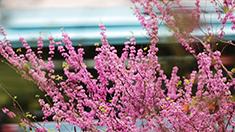 重慶沙坪壩:又見桃花笑春風