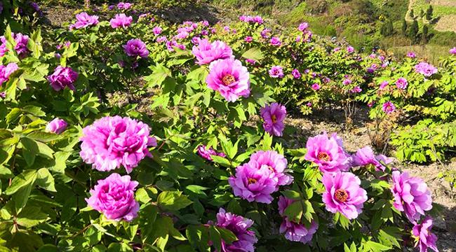 第二十屆重慶墊江牡丹花節開幕 花花世界春意濃