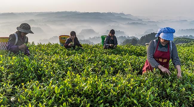 清明見芽谷雨見茶——谷雨將至 茶農採茶忙