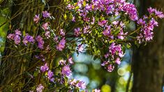 重慶梁平:紫杜鵑花開山間美如畫卷