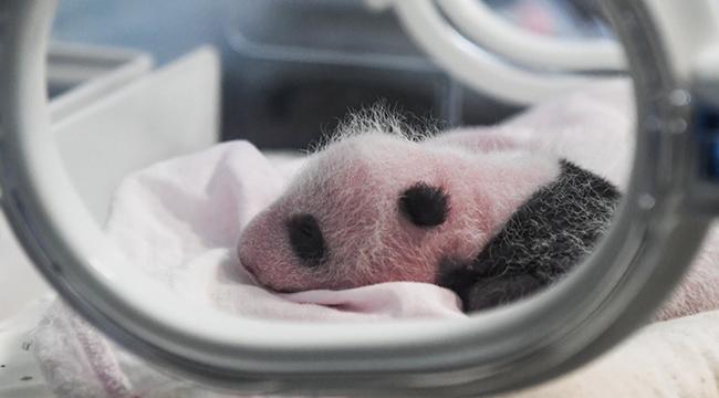 罕見!重慶動物園兩只大熊貓同日生下雙胞胎