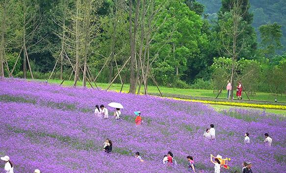 """重慶大山深處馬鞭草花海浪漫綻放 為大地披上紫色""""外衣"""""""