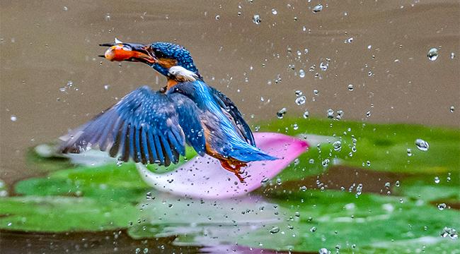 重慶夏日翠鳥:荷尖嬉戲 花間起舞