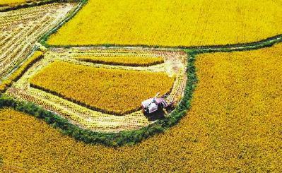 黔江:輪作稻迎豐收