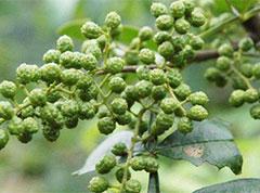 重慶酉陽:小小花椒樹 讓石漠結出脫貧致富果