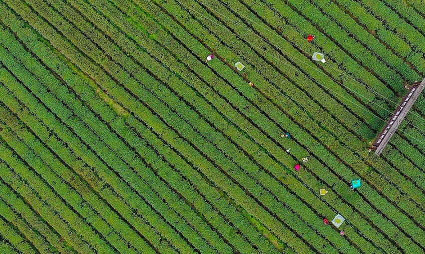 重慶南川:仲春時節採茶忙