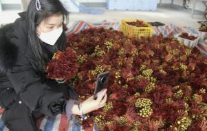 銅溪椿芽網上售賣