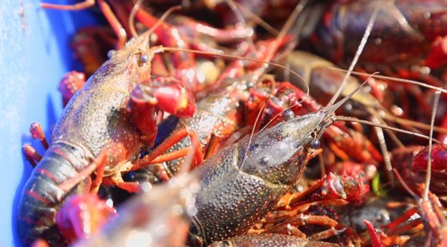 小龍蝦節的味覺盛宴來了 吃它!