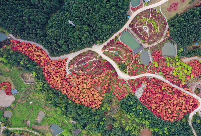 重慶巴南:春光爛漫楓似火