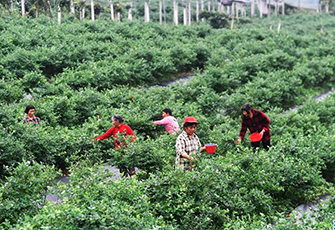藍莓産業助農增收