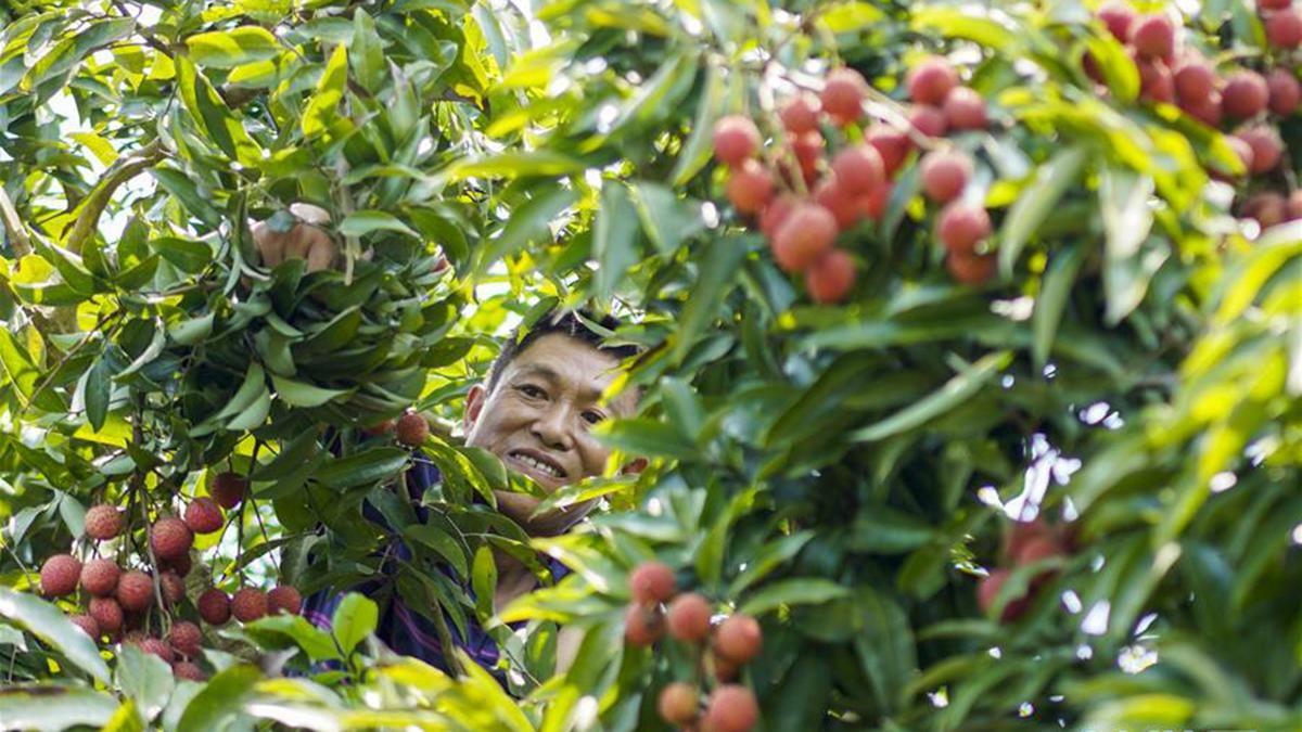重慶涪陵:荔枝種植 助力脫貧攻堅