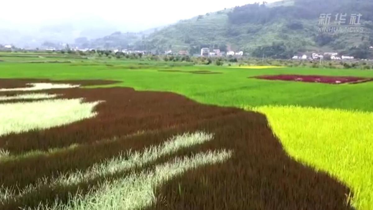 """重慶南川:田裏""""種""""出一座山 彩色水稻繪出新風景"""