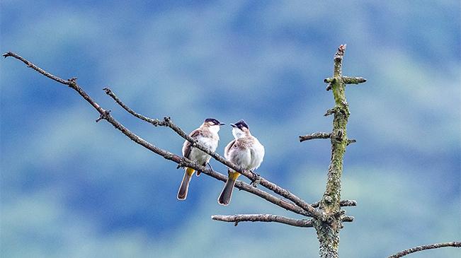 重慶金佛山迎來鳥兒活躍季 成雙成對萌態百出