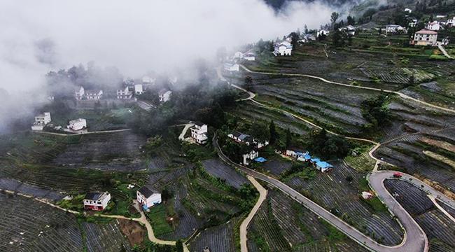 重慶開州生態茶園托起百姓致富夢