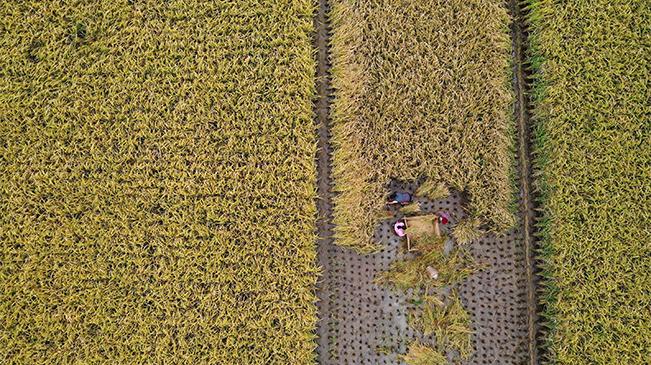 航拍重慶黔江:村民搶收貢米稻 確保顆粒歸倉