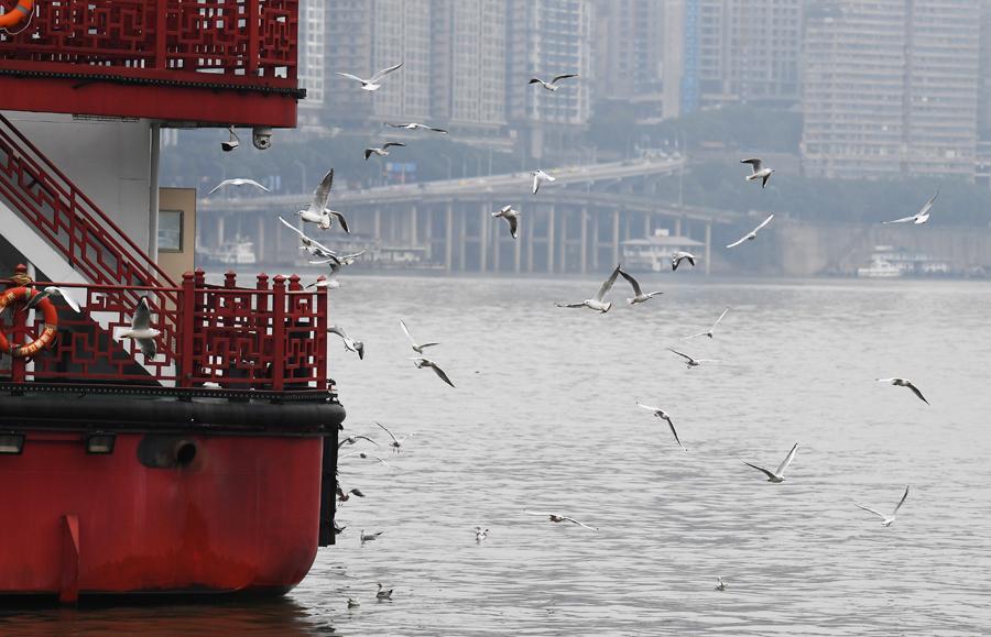 """重慶:紅嘴鷗""""到訪""""山水之城"""