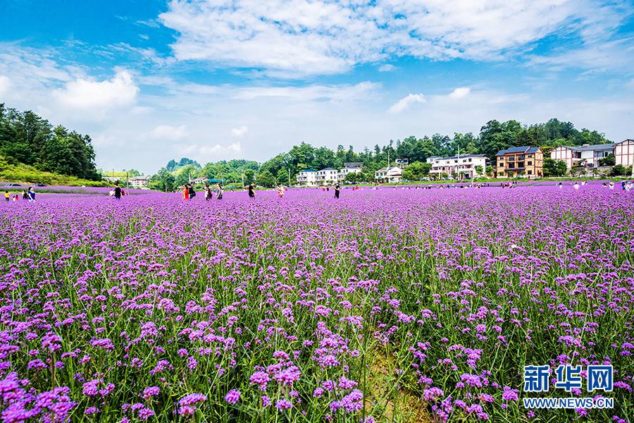 紫色马鞭草绽放十二金钗大观园 勾勒浪漫田园风光
